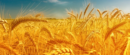 Празднование Шаувот совпадает жатвой урожая пшеницы