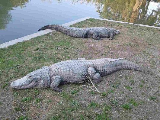 Хамат Гадер крокодиловый питомник
